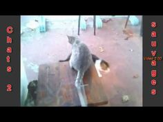 Chats Sauvages 2