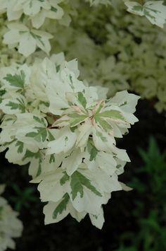 Carnival Hedge Maple (Acer campestre 'Carnival') at Moana Nursery
