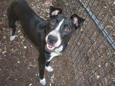 Ellie  Border Collie & Boston Terrier Mix • Young • Female • Medium  Heart of Texas SPCA San Antonio, TX