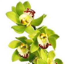 red lipped green cymbidium orchids