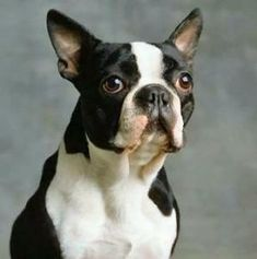Square Boston Terriers, Boston Terrier Love, Cairn Terrier, Fox Terrier, Terrier Puppies, Bull Terriers, Weimaraner, Cocker Spaniel, Shiba Inu