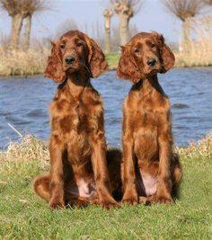 Ierse setter pups