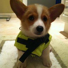 Ready to swim! #corgi #puppy