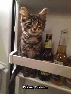 Kitten thinks he's a beer - your daily dose of funny cats - cute kittens - pet memes - pets in clothes - kitty breeds - sweet animal pictures - perfect photos for cat moms Cute Kittens, Cats And Kittens, Cats Meowing, Kitty Cats, Cats Bus, Ragdoll Kittens, Tabby Cats, Bengal Cats, Siamese Cat