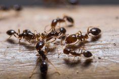Wie Man Ameisen In Der Kuche Loswird Ungiftige Hausmittel Ant Infestation Pest Control Fire Ants