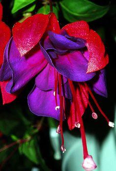 Purple fuchsia.   Flickr - Photo Sharing!