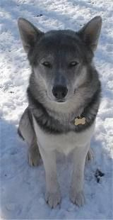 husky wolf mix is my ultimate dream goal for a dog