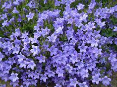Periwinkle - good lawn substitute for sloping ground. Thrives in shade and is drought-tolerant (grow on its own!)