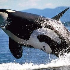 """Captive Orcas- """"What orcas are displaying in these tanks is a caricature of the real orca - almost a shadow - when you consider what the orca is like in the ocean. Paul Spong, founder of Orca Lab Orcas, Beautiful Creatures, Animals Beautiful, Le Morse, Mon Zoo, Dolphin Family, Delphine, Mundo Animal, Ocean Creatures"""
