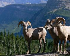 Click this pin to get western research ideas: 12 Incredible Montana Factoids by award-winning author Stephen Bly Wild Animals Pictures, Park Pictures, Animals With Horns, North American Animals, Big Horn Sheep, Glacier Park, Big Sky Country, Colorado Mountains, Wildlife Nature