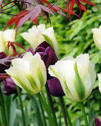 Bilderesultat for Tulipa 'Spring Green'