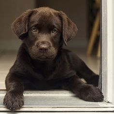 chocolate lab!!