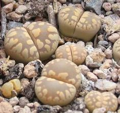 Mesemb Plant--Lithops hallii ochracea /'Green Soapstone/' C111A--ONE 3Yr Seedling
