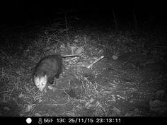 11/25/2015: opossum sniffing around and shit at the roberd's dairy farm #wildlifecam