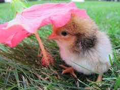 Today's forecast: Cute with 100% chance of fluffy. via The Chicken Chick on Facebook