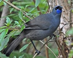 The Kōkako (Callaeas cinereus) is an endangered forest bird which is endemic to New Zealand. It is slate-grey with wattles and a black mask. It is one of three species of New Zealand Wattlebird, the other two being the near threatened Tieke (saddleback) and the extinct Huia.