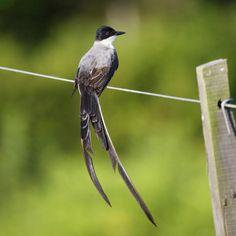 Fork-tailed Flycatcher (Tyrannus savana) Tesourinha