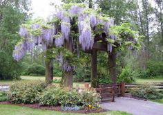 wisteria - I want this on my new place.  Reminds me of grandma's