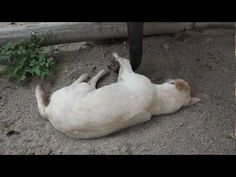 Baby Elephant Trying to Wake up a Dog!