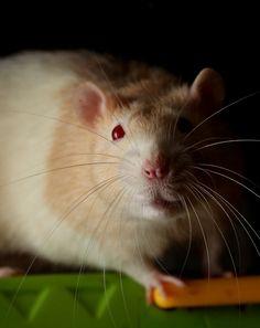 rats | Tumblr Cute Small Animals, Animal Articles, Fancy Rat, Gerbil, Pet Rats, Cool Pets, Rodents, Chinchilla, Parrots