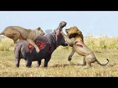 مذهلة هجمات الحيوانات البرية - الأسد، التمساح، الضبع، فرس النهر