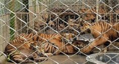 CHINA: STOP IGNORING BAN ON SALE OF TIGER BODY PARTS: CLOSE DOWN CHINA'S TIGER FARMS
