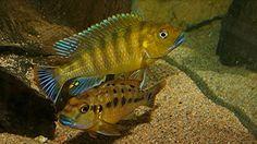 Malawi Cichlids, African Cichlids, Tropical Aquarium, Aquarium Fish, Lac Tanganyika, Rift Valley, Angel Fish, Beautiful Fish, Animals