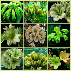 Favourite Green Clivia Flowers of 2013