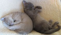 burmese kittens - Google Search
