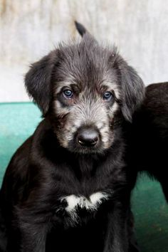 Irish Wolfhound - Breeders,Pictures,Information,Advertise Your Kennel.