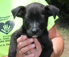 Pee Wee 18354 is an adoptable Labrador Retriever Dog in Prattville, AL.   Pee Wee is a 10-week-old male Lab mix.  He is black with just a little bit of white markings  on his face and some white on hi...