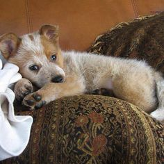 the red heeler babies are so adorable Aussie Cattle Dog, Austrailian Cattle Dog, Cattle Dogs, Animals And Pets, Baby Animals, Cute Animals, Cute Puppies, Dogs And Puppies, Doggies
