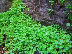 Corsican Mint- Beautiful shade loving ground cover that doesn't mind foot traffic and smells like creme de menthe!