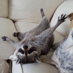 Este mapache rescatado vive con perros ycree que esuno deellos