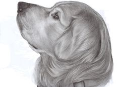 Pencil Portrait of a Golden Retriever. This is a commemoration portrait of a…