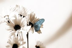 Julia Butterfly - Blue - Fototapeten & Tapeten - Photowall