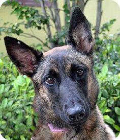 St. Petersburg, FL - Belgian Malinois. Meet Crystal, a dog for adoption. http://www.adoptapet.com/pet/11524015-st-petersburg-florida-belgian-malinois