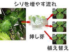 シソを秋でも、無限に増やすことができるようになりました。増やしたシソは、天ぷらや肉巻きなどに活用しています。たくさん収穫できたら、自作のふりかけにします。あの香りが好きで、室内で水耕栽培で育てます。いまは秋に種を蒔いて、1年を通して収穫。日