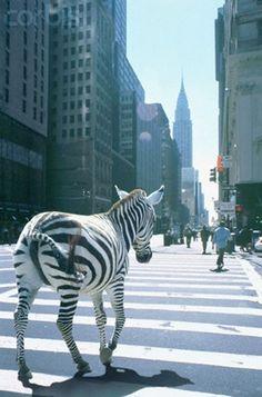 city slicker zebra