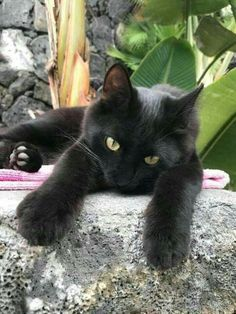 Black cat with Golden eyes on a pink towel. : Black cat with Golden eyes on a pink towel. Pretty Cats, Beautiful Cats, Cute Kittens, Cats And Kittens, Cats Meowing, Chat Lion, Chat Kawaii, White Cats, Black Cats