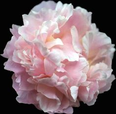 """""""James Pillow"""" peony the perfect flower for my wedding. I hope we can get them"""