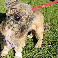 Portland Or Lhasa Apso Meet Gus A Pet For Adoption Lhasa
