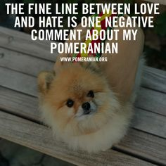 Marvelous Pomeranian Does Your Dog Measure Up and Does It Matter Characteristics. All About Pomeranian Does Your Dog Measure Up and Does It Matter Characteristics. Pomeranian Memes, Pomeranian Puppy, Teacup Pomeranian, Husky Puppy, Pom Dog, Save A Dog, Getting A Puppy, Country, Friends