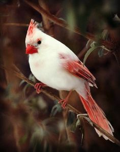 Leucistic Cardinal.. really is beautiful..this is an absence of pigment in some of the feathers. An albino animal has NO pigment at all..even their eyes are pink.
