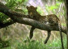 onça na árvore