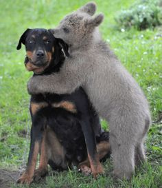 funkysafari:    Matevz Logar plays with brown bear cub Medo in Podvrh village, central Slovenia. The Slovenian Logar family has adopted the three-and-half-month-old bear.from [x]