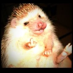 Bad boy ! Hedgehog