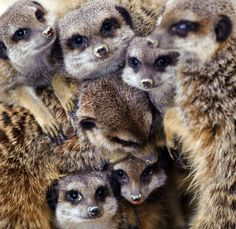Awesome Animal Photos Of Meercats warm up at the Mulhouse zoo on February Heavy snowfall hit large parts of France this weekend putting the country under a picturesque blanket of white stuff but causing major disruptions to air, road and rail transport. More Pictures, Animal Pictures, Baby Animals, Cute Animals, Wild Animals, Baby Gorillas, The Daily Beast, Parcs, Amor