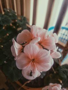 Color Rosa, Flower Pictures, Geraniums, Watercolor Flowers, Mother Nature, Flower Arrangements, Beautiful Flowers, Iphone Wallpaper, Aesthetics