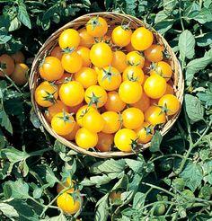 Grow Organic, Organic Seeds, Growing Tomatoes In Containers, Grow Tomatoes, Garden Tomatoes, Tomato Seeds, Organic Vegetables, Planting Vegetables, Garden Seeds